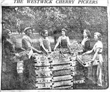 Cherry pickers at the orchards at Westwick, opposite Westwick Hall.